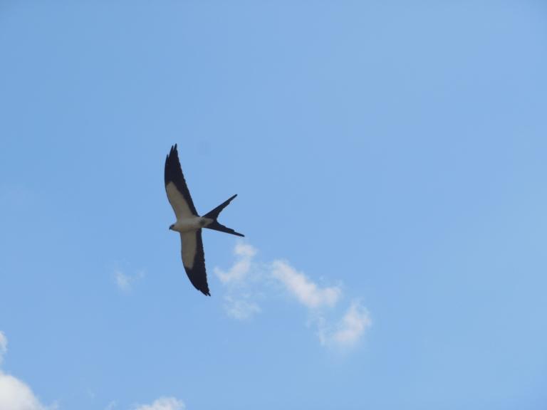 San Ramon waterfall - american swallowed kite  #11