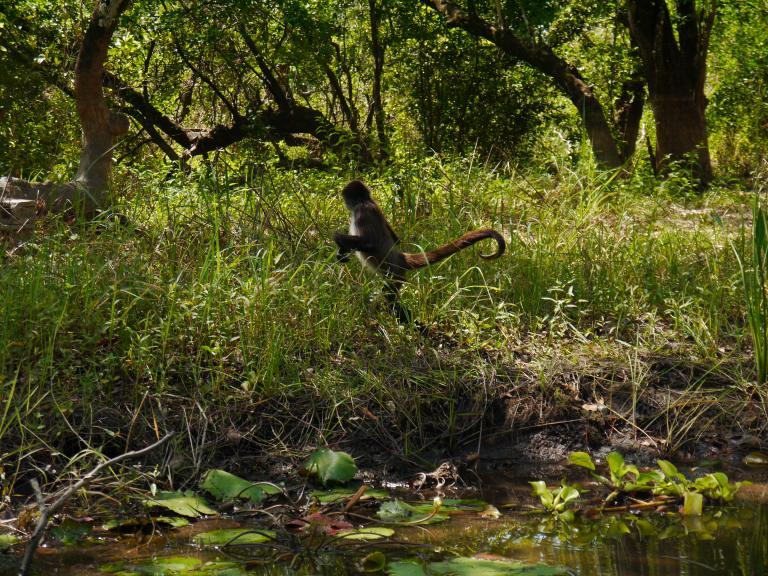 Spider monkey - New river Travellingminstrel #1