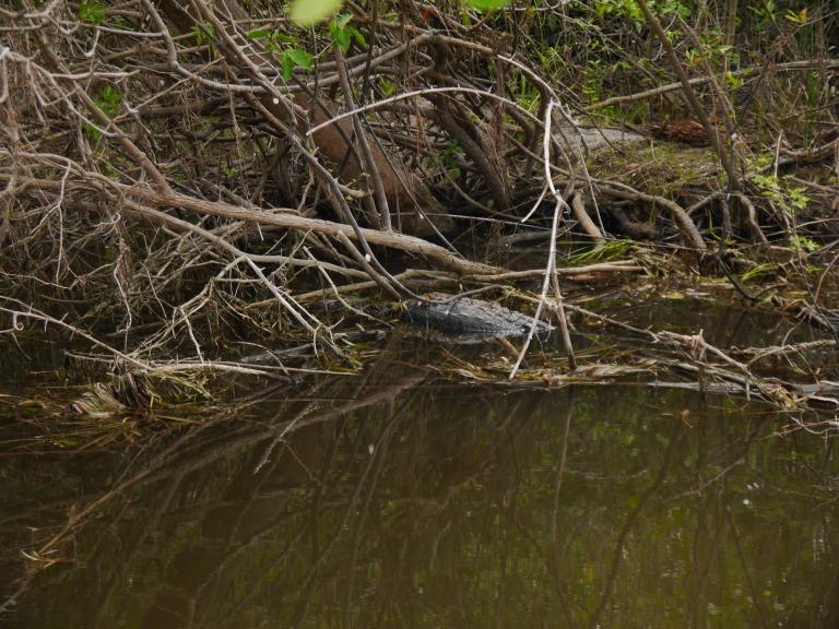 Marlot crocodile - New river Travellingminstrel #2