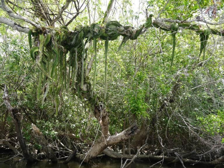 Snake cactus - New river Travellingminstrel #3