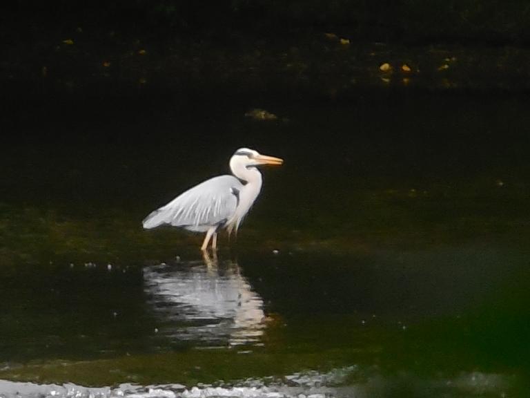 Grey heron - Travellingminstrel #2