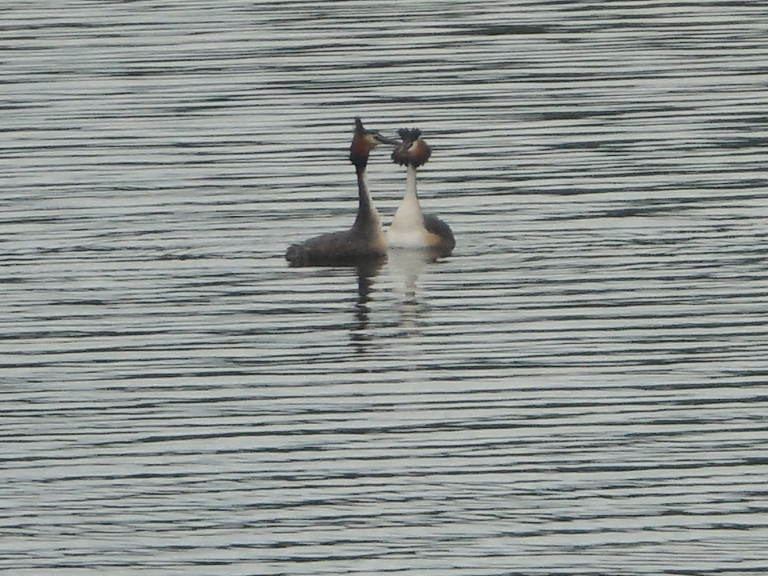 Great crested grebe - Travellingminstrel #3