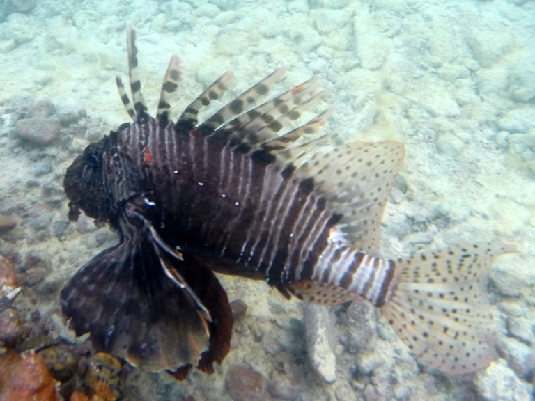 Lionfish - Travellingminstrel #