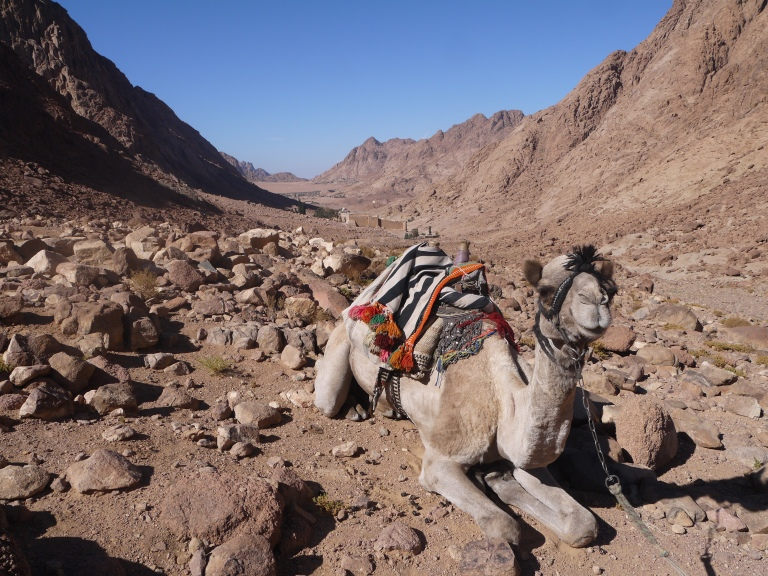 our camel- Travellingminstrel #