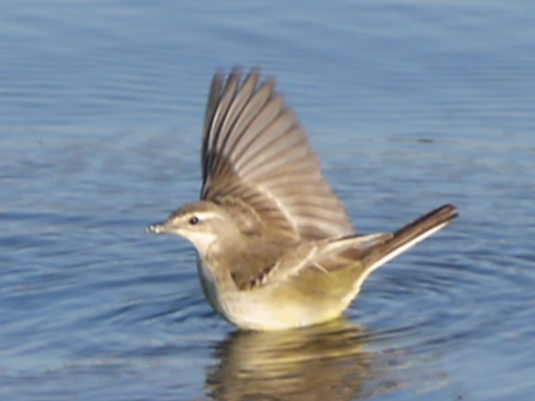 Clamorous Reed Warbler - Travellingminstrel #