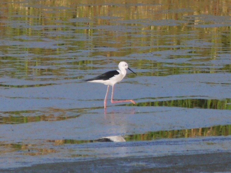 Black Winged Stilt - Travellingminstrel #