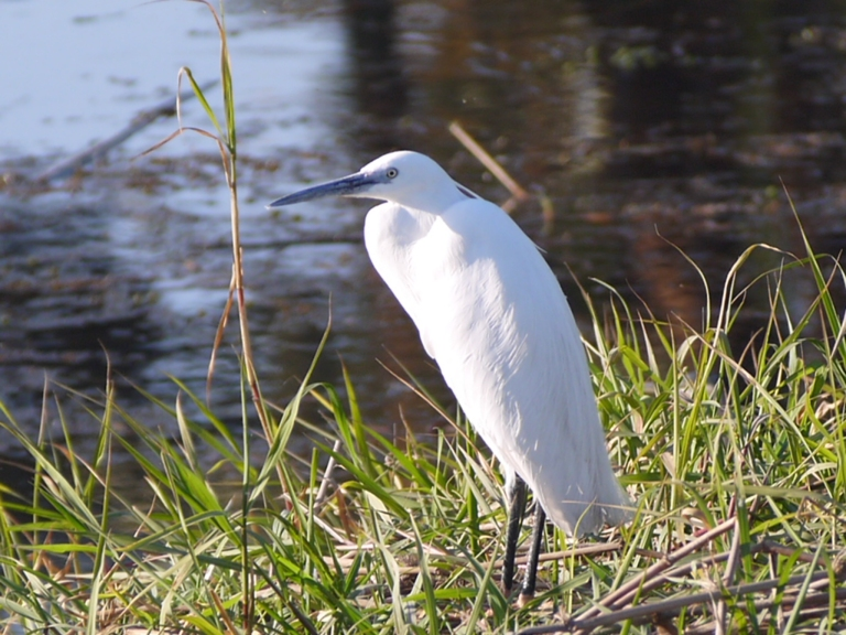 Little Egret - Travellingminstrel #
