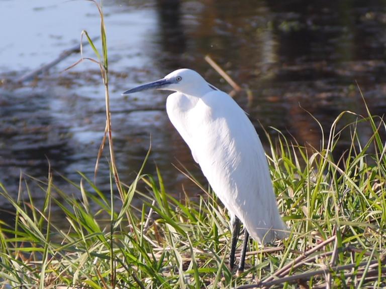 Little Egret - Travellingminstrel #