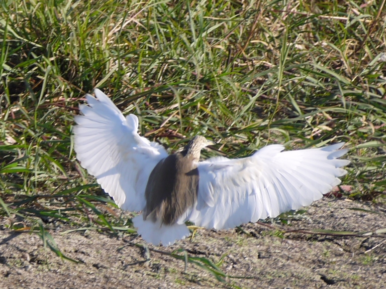 Squaco heron - Travellingminstrel #