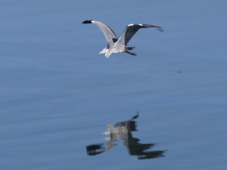 Heron - Travellingminstrel #