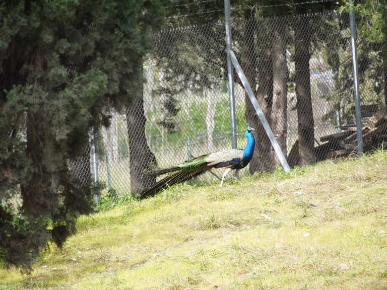 Peacock - Travellingminstrel #