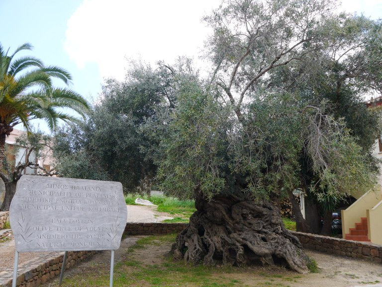 Ancient Olive tree of Vouves - Travellingminstrel #