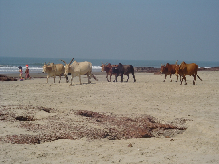 Cows on the beach - Travellingminstrel #