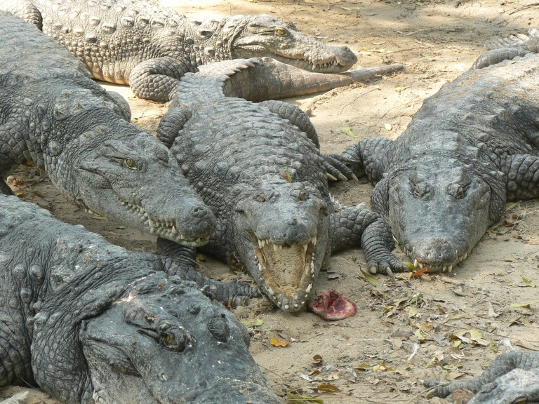 Crocodile farm - Travellingminstrel #