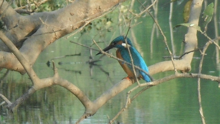 Kingfisher - Travellingminstrel #