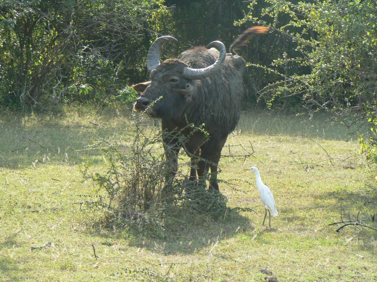 Wild Buffalo - Travellingminstrel #