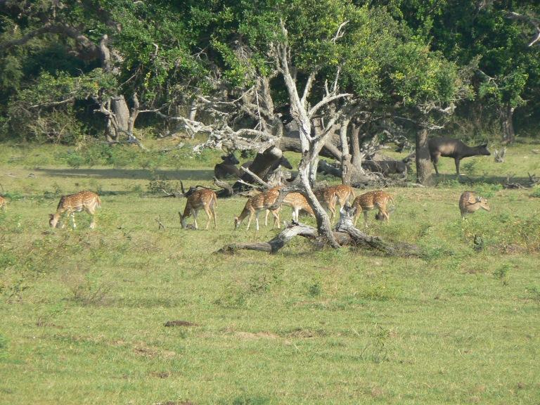 Deer - Travellingminstrel #