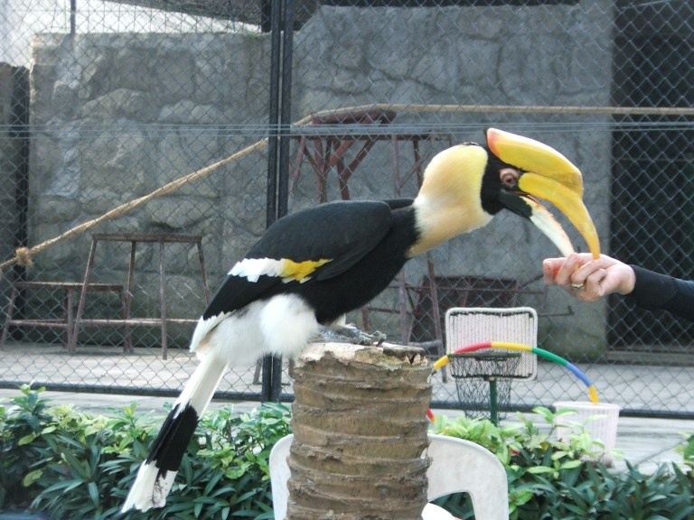 Toucan in Koh Samui - Travellingminstrel #