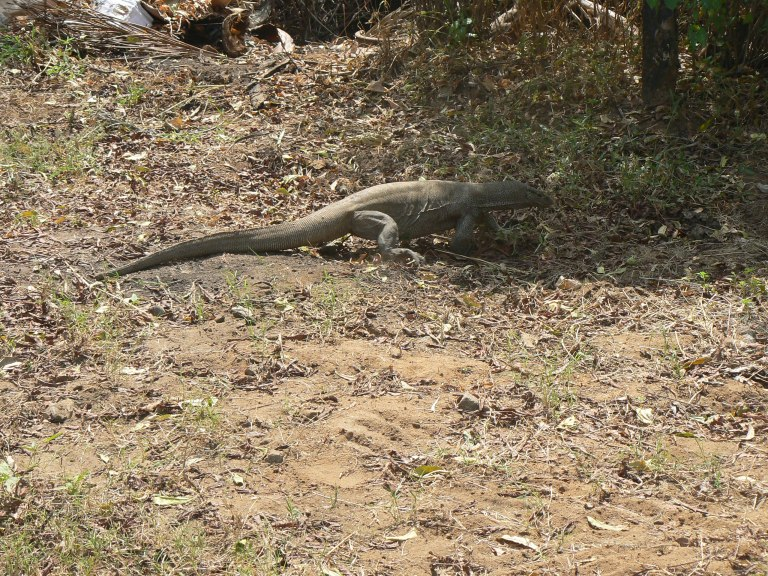 Monitor lizard - Travellingminstrel #