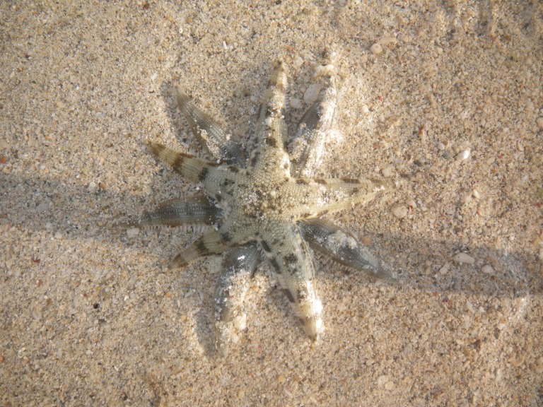 Starfish - Travellingminstrel #